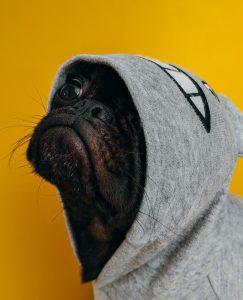 Cute pug wearing a hoodie.